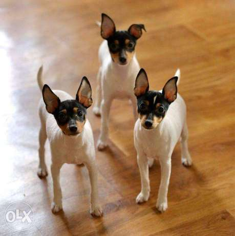"""Imported American Toy Fox Terrier """"Premium Quality"""""""