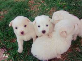 Am selling my Japanese spitz and maltese puppies