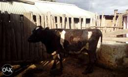 Fresian cows for sale