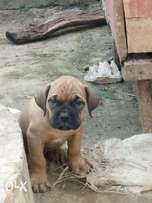 7 weeks old male mastiff puppy for sale