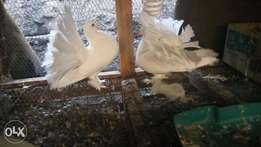 A White male Fantail pigeon available for sale .