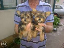 yorkie pups,so cute they love to cuddle under the blanket