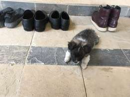 Japanese Spitz Puppies for sale at 10k