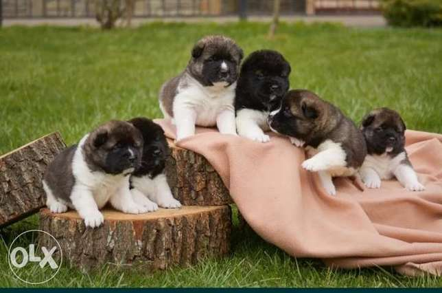 Amircan Akita puppies imported from Ukraine with FCI-Pedigree