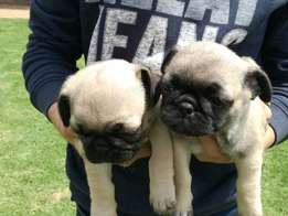 Male pug puppies for sale