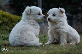 Pure 7 weeks old vaccinated japanese spitz puppies for sale.