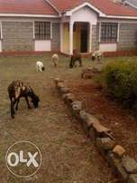 C061 - 3 bedroom bungalow in a gated community within Ngong