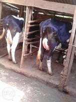 Freshian Dairy cows for sale.