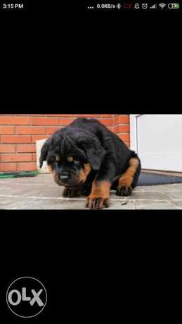 Best top quality imported rottweiler puppies جراوي روت وايلر اعلي مستو