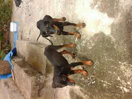 Pure breed doberman pups both going for