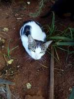Beautiful 1 year old female cat for sale