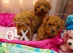 Beautiful teacup Poodle puppies available and ready
