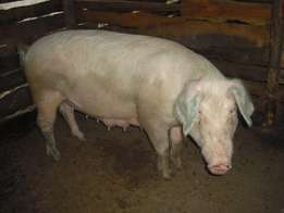 over 60 kgs mature large white pigs