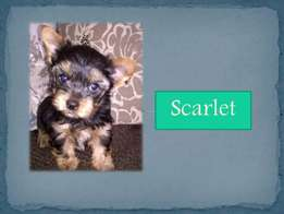 Pedigree Yorkshire Terrier Puppies for sale