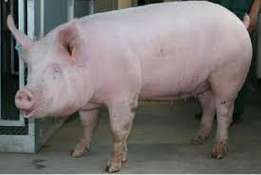 100 Grand Pigs and Piglets / Register Live