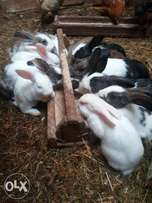 Hybrid Rabbits and Bunnies