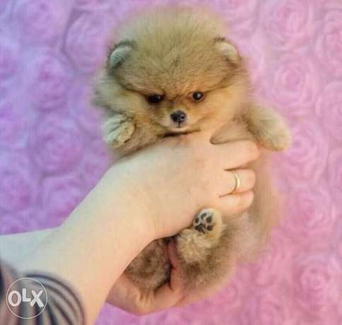 pomeranian teacup for sale 400g for only 700$