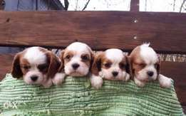 Reserve ur imported cavalier King Charles, top quality with Pedigree
