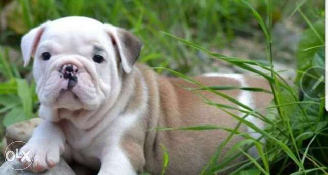 Best imported English Bulldog puppies with all documents