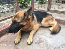 2 year old pure gsd females for sale in msa