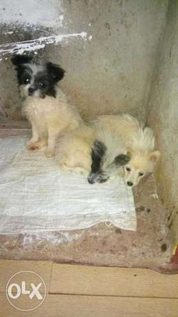 3 months old puppies for sale Thogoto - image 1
