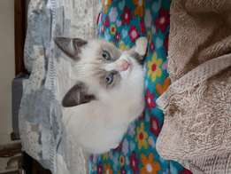 Ragdoll cross kitten