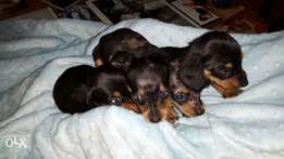 Dachund pups for sale