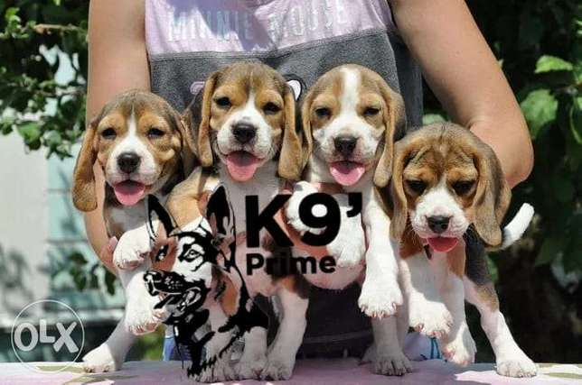 Beagle Puppies Now Available Imported from Ukraine (Males and Females)