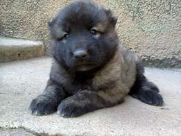 Female Caucasian puppy available for sale