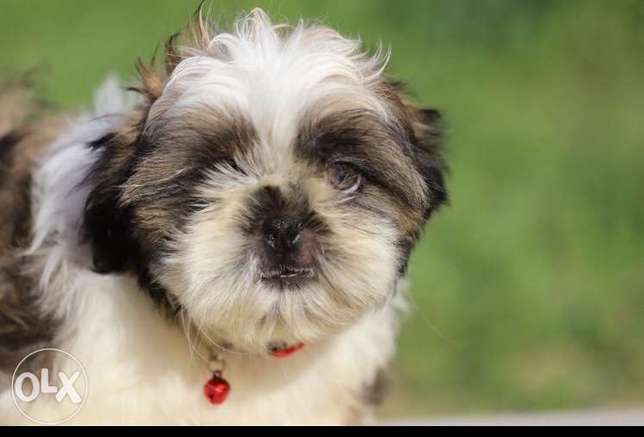 imported mini shih tzu puppies from Europe