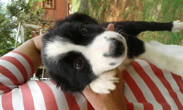 Pedigree border collies Vanderbijlpark - image 2