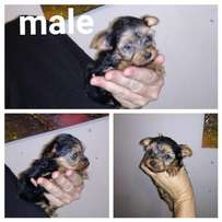 yorkshire terrier / Yorkie male pocket size pups.