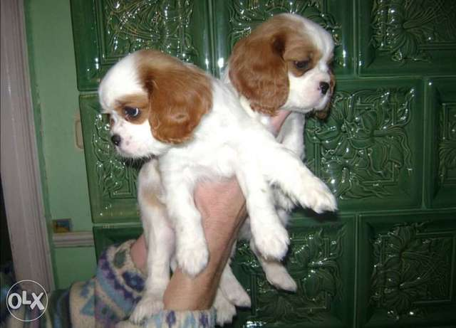 Get urself the best imported cavalier King Charles puppy with Pedigree