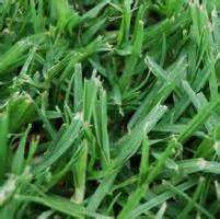 Kikuyu carpet grass