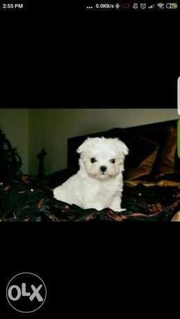 Maltese puppies imported we ship to all countries