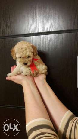 Miniature Poodle TOY
