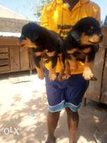 Massive full bred Rottweiler pups for sale