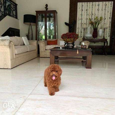 Toy Poodle For Sale