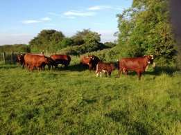 Available Shorthorn cows with calves at foot for sale
