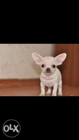 Imported chihuahua teacup puppies