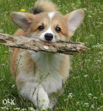 imported corgi puppies, highest quality and best price