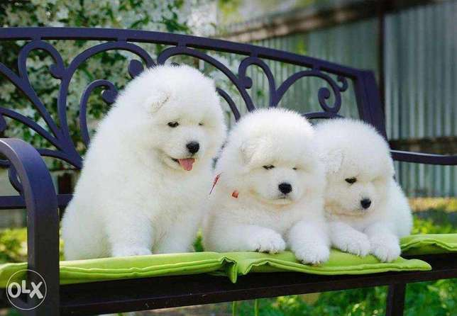 """The best of the best Imported Fluffy Samoyed Puppies """"Premium Quality"""""""