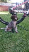 GSP puppy for sale