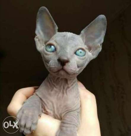 Imported Sphynx kittens from best kennels in Europe