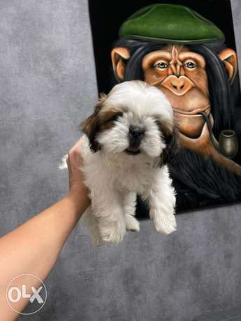 Shihtzu Puppies 2 months vaccinated and dewormed Ukranian Documents
