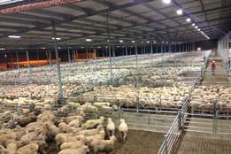 Healthy Sheep and Ram 600for sale