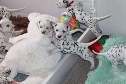 Beautiful Dalmatian Puppies for sale