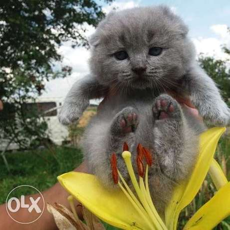 I will sell kittens breed blue Scottish Fold Scottish Fold
