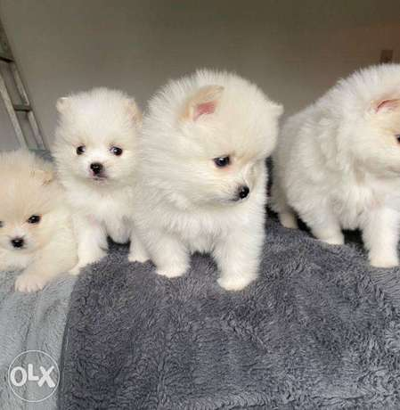 Gorgeours Pomeranian Puppies for rehoming