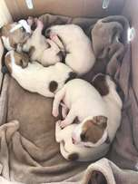 Cute Jack Russell Puppies